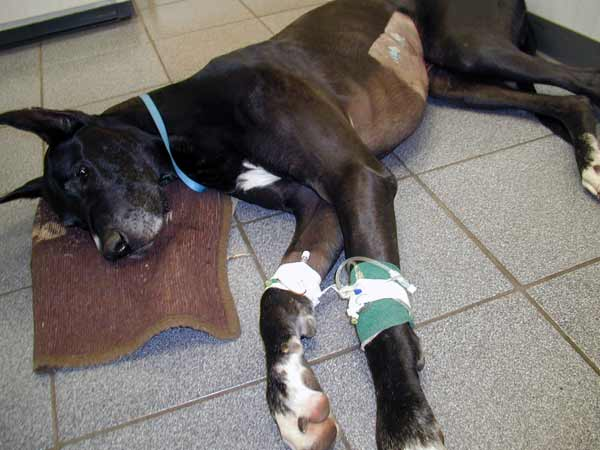 Black Great Dane laying in recovery post bloat and stomach tacking surgery.
