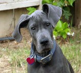 Black colored Great Dane