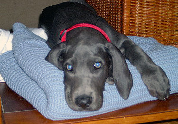 All About Blue Great Danes
