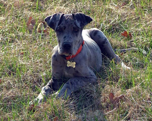Blue merle Great Danes.