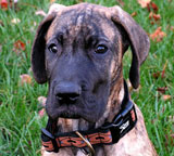 Brindle colored Great Dane