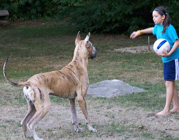 Great Danes and children, a child friendly dog, with caution.