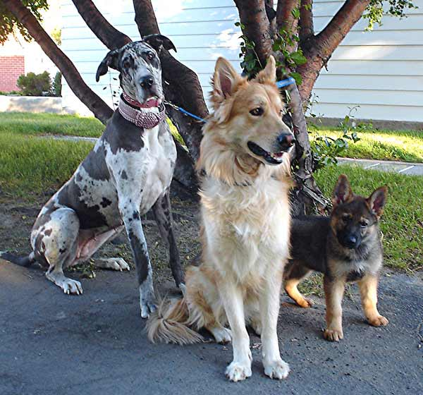 Dog names for all breeds, Great Dane, Shepherd and Collie sitting under a tree.