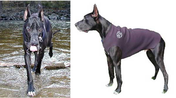 Black Great Dane wearing custom dog wetsuit.