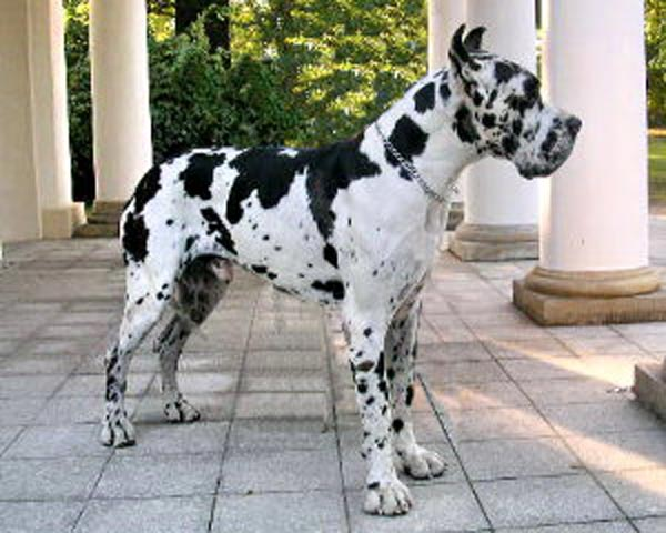 This harlequin color European Great Dane is perfect candidate for a German dog name.