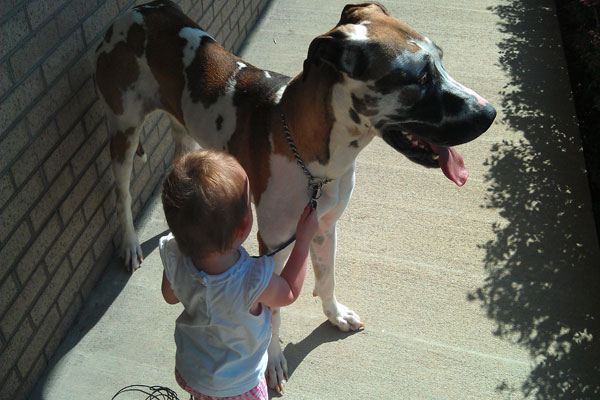 Docile Great Dane behavior with a small child, what a picture.