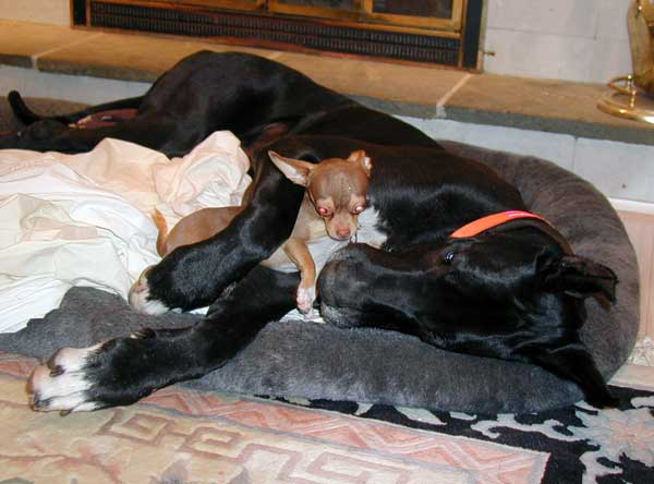 Great Dane Family Great Dane Dog Bedding Down