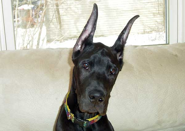 Great Dane ear cropping dog with cropped ears.
