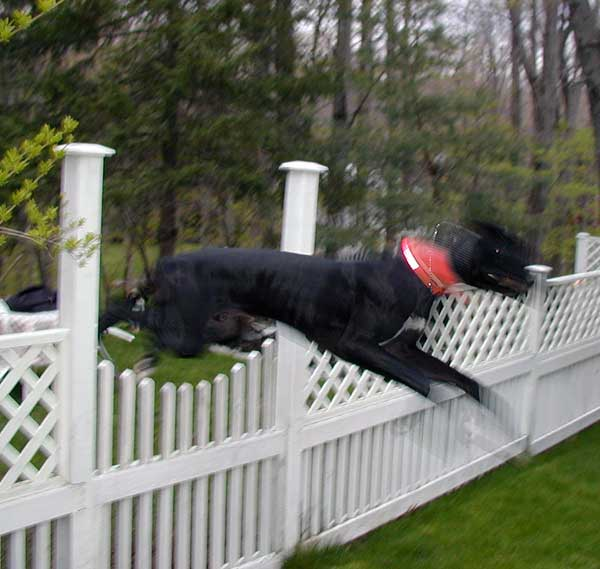 Great Dane care includes watching for a fence jump as the breed is capable of clearing most fences.
