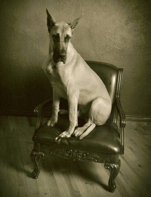 Great Dane history reveals Danes of old were unlike those of today as represented by this beautiful fawn Great Dane.