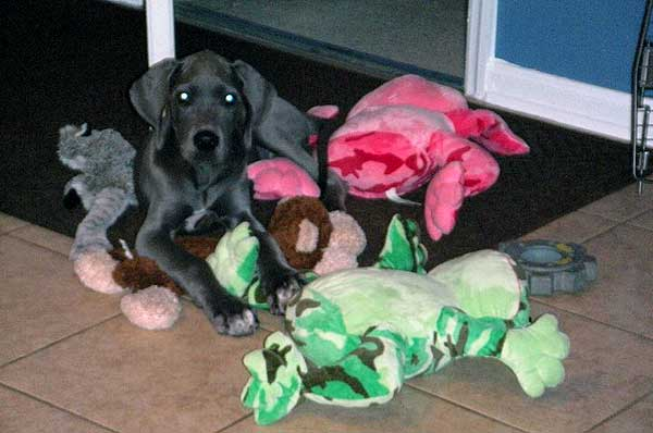 Great Dane puppy with soft chew toys.