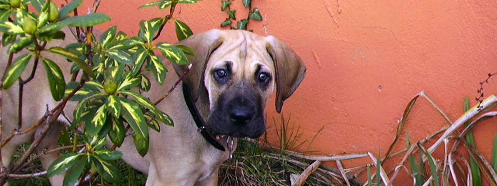 Great Dane Puppy Resource Center