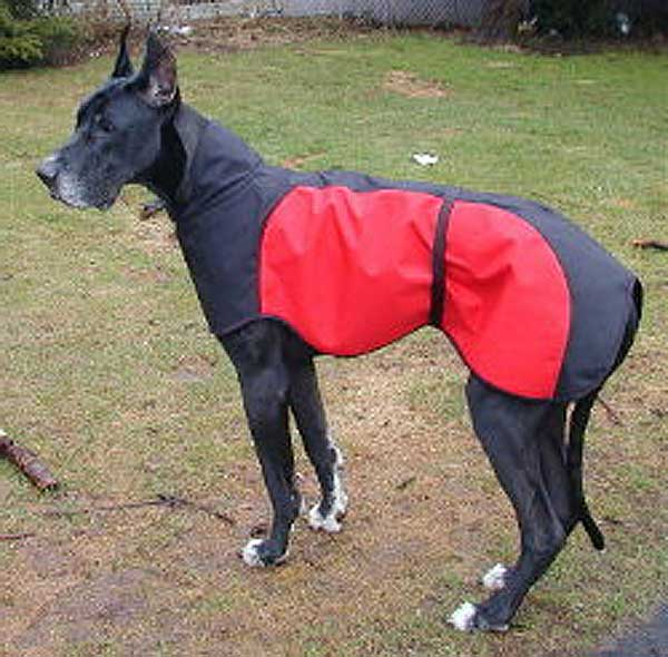 A 150-pound Great Dane wearing our prototype design black and red Great Dane raincoat