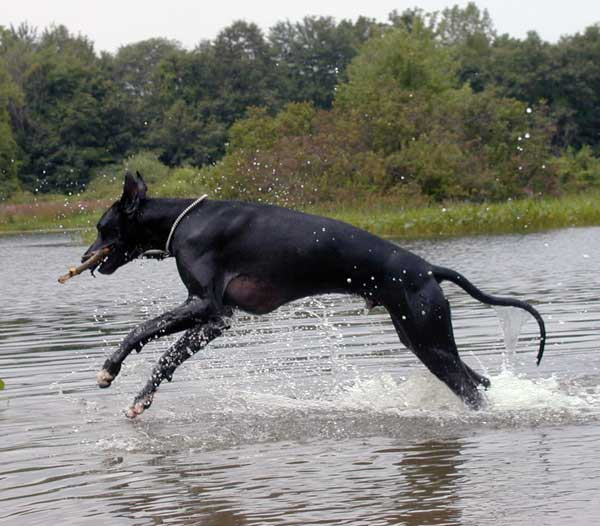 Great Dane dog running in water.