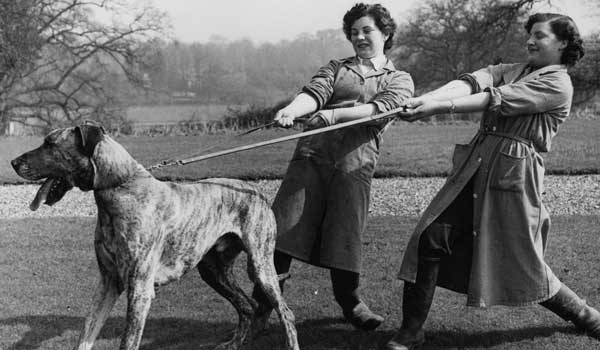 Vintage black and white photo of Brindle Great Dane pulling on lead against two women.