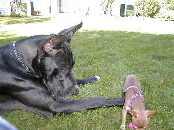Great Dane and chihuahua.