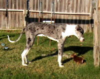 Image of mantled merle Great Dane coloring.