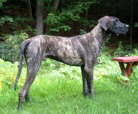 Onyx brindle Great Danes appear a reversed brindle having a black coat with tan stripes.