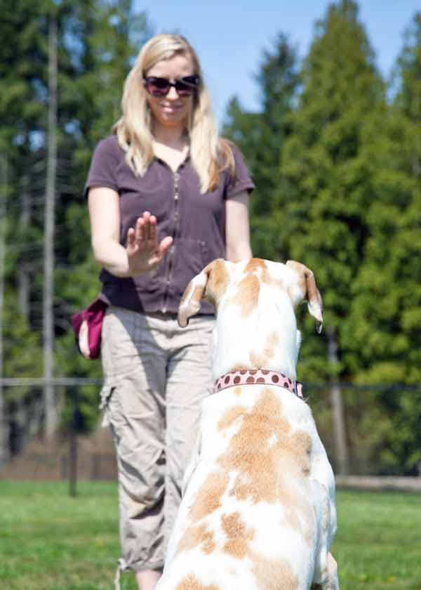 Training Great Danes image depicts female handler with dog in a sit-stay focusing on her.
