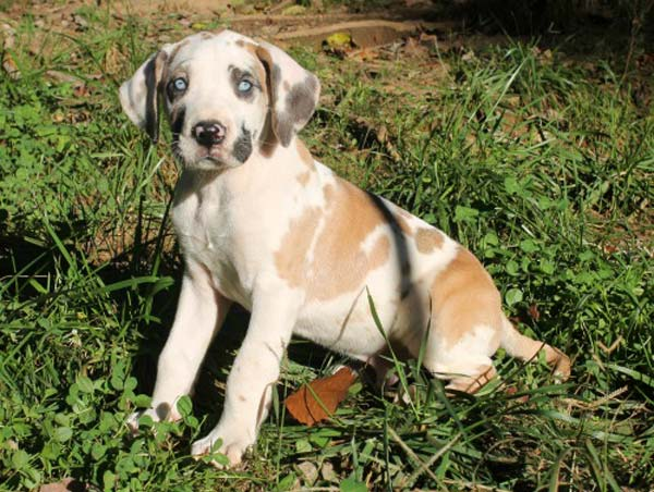 Photo of a tri colered merle Great Dane puppy.