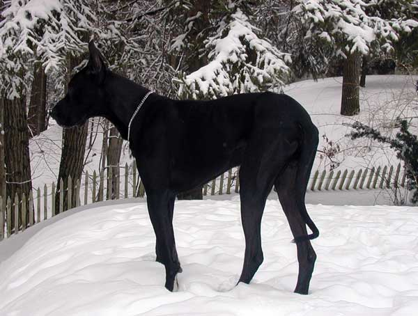 Black Great Dane In Fresh Winter Snow